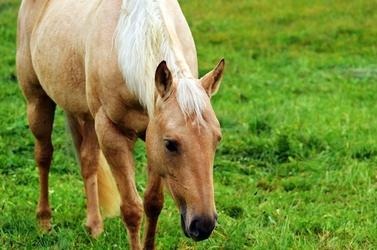 Fototapeta koń z małą grzywą fp 2688