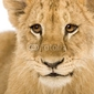Plakat na papierze fotorealistycznym lwiątko 4 miesiące