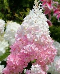 Hortensja bukietowa sundae fraise różowa
