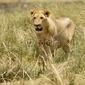 Naklejka samoprzylepna lion masai mara kenia