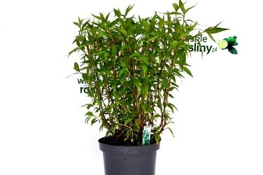 Kolendra wietnamska krzew