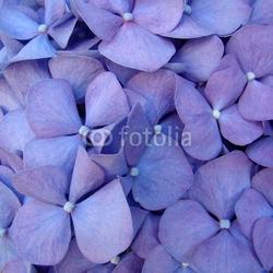 Tapeta ścienna makro kwiat hortensia