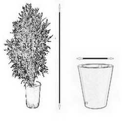 Strelicja augusta nicolai ogromny krzew