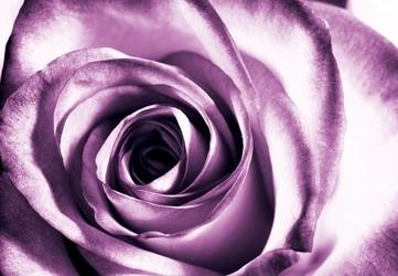 Purpurowa róża - fototapeta 366x254 cm