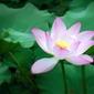 Fototapeta mały biały kwiat lotosu fp 745