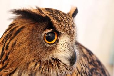 Fototapeta głowa sowy fp 2643