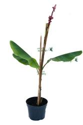 Bananowiec musa velutina drzewo
