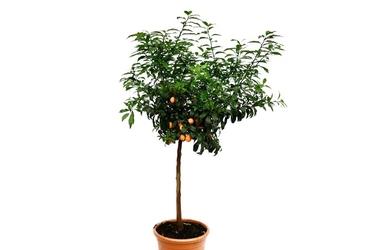 Kumkwat margarita duże drzewo