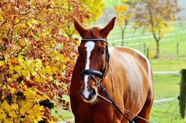Fototapeta gniady koń stojący przy drzewie fp 2502