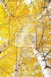 Plakat jesienne drzewa z żółknięcie liści na tle nieba