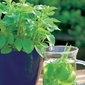 Stewia sweet honey – nasiona – kiepenkerl