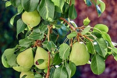 Fototapeta grusza pełna owoców fp 797