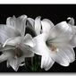 Białe lilie - obraz na płótnie