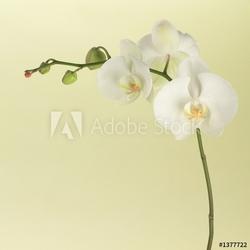 Naklejka samoprzylepna biała orchidea