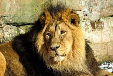 Fototapeta lew w czasie odpoczynku fp 2471