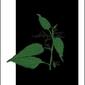 Pokrzywa nocą - plakat wymiar do wyboru: 30x40 cm