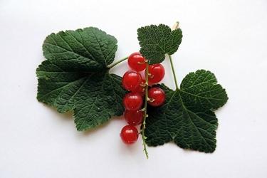 Fototapeta czerwona porzeczka na zielonym listku fp 979
