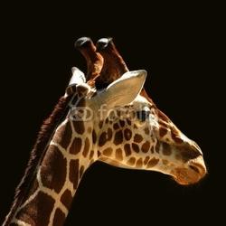 Obraz na płótnie canvas żyrafy