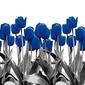 Fototapeta granatowo-czarne tulipany 349
