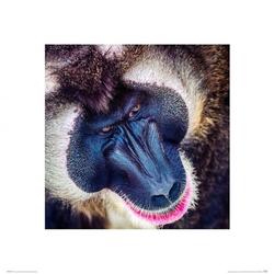 Pawian - reprodukcja