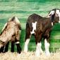 Fototapeta dwie kozy na tle zielonego płotu fp 2524