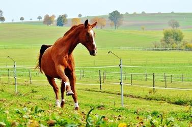 Fototapeta koń w ruchu fp 2981