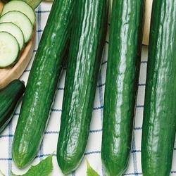 Ogórek saladin f1 – długi – kiepenkerl