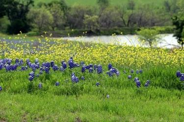 Fototapeta polana niebiesko żółtych kwiatków fp 760