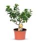 Pomarańcza chinotto małe drzewko