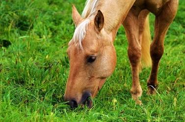 Fototapeta jedzący koń fp 3006