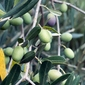 Fototapeta rosnące oliwki fp 744