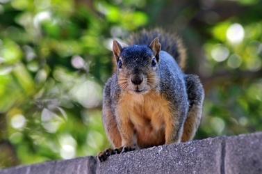 Fototapeta wiewiórka siedząca na murze fp 2620
