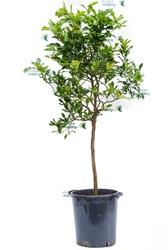 Lima kaffir duże drzewo