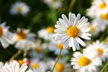 Fototapeta kwiat, rumianek 341