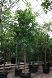 Ficus andrew