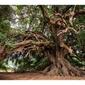 Stare drzewo - plakat wymiar do wyboru: 50x40 cm