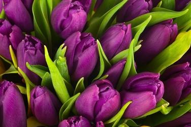 Fototapeta tulipany 2163