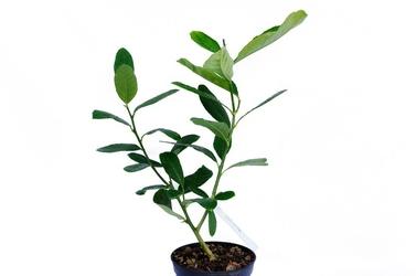 Cedro di corsica krzew
