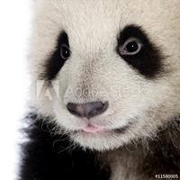 Obraz na płótnie canvas trzyczęściowy tryptyk gigantyczna panda 6 miesięcy - ailuropoda melanoleuca