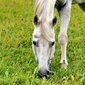 Fototapeta na ścianę szary koń o pięknych oczach fp 2722