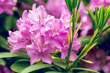Fototapeta kwitnący rododendron fp 630