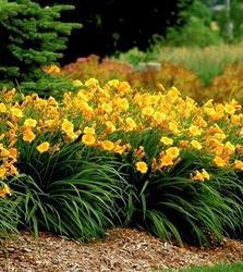 Mini liliowiec stella de oro kwitnie 5 miesięcy