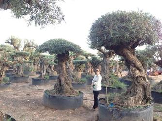 Drzewo oliwne bonsai