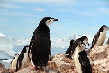 Fototapeta grupa pingwinów fp 2432