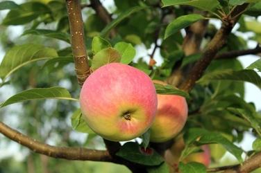 Fototapeta jabłka na drzewie fp 1066