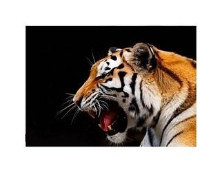 Duży tygrys - reprodukcja