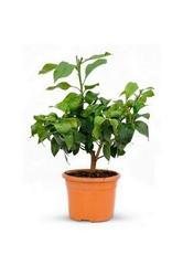 Cytryna lunario małe drzewko