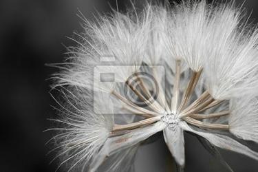 Obraz close-up z nasion mniszka lekarskiego