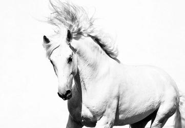 Arabski koń - fototapeta 366x254 cm