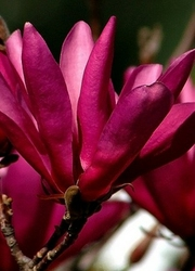 Magnolia susan różowe kwiaty kwitnie 2 razy w roku